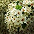 -Primavera -Spring (17243692659).jpg