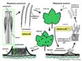 04 03 16 life cycle, Rhytisma acerinum, Rhytismatales, Ascomycota (M. Piepenbring & C.-L. Hou).png