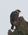 060404 orange-breasted falcon a IG - Flickr - Lip Kee.jpg
