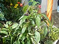 0998Ornamental plants in the Philippines 04.jpg