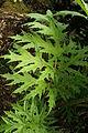 0 Heracleum mantegazzianum - Samoëns (2).JPG