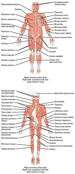1105 Anterior and Posterior Views of Muscles.jpg