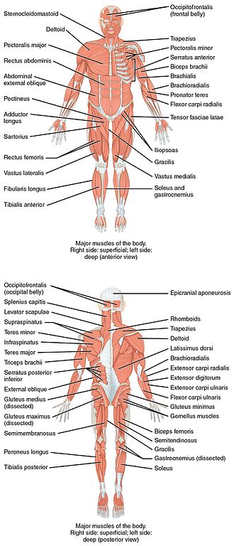 Human musculoskeletal system - On the anterior and posterior views of the muscular system above, superficial muscles (those at the surface) are shown on the right side of the body while deep muscles (those underneath the superficial muscles) are shown on the left half of the body. For the legs, superficial muscles are shown in the anterior view while the posterior view shows both superficial and deep muscles.