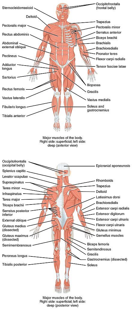 On the anterior and posterior views of the muscular system above, superficial muscles (those at the surface) are shown on the right side of the body while deep muscles (those underneath the superficial muscles) are shown on the left half of the body. For the legs, superficial muscles are shown in the anterior view while the posterior view shows both superficial and deep muscles. 1105 Anterior and Posterior Views of Muscles.jpg