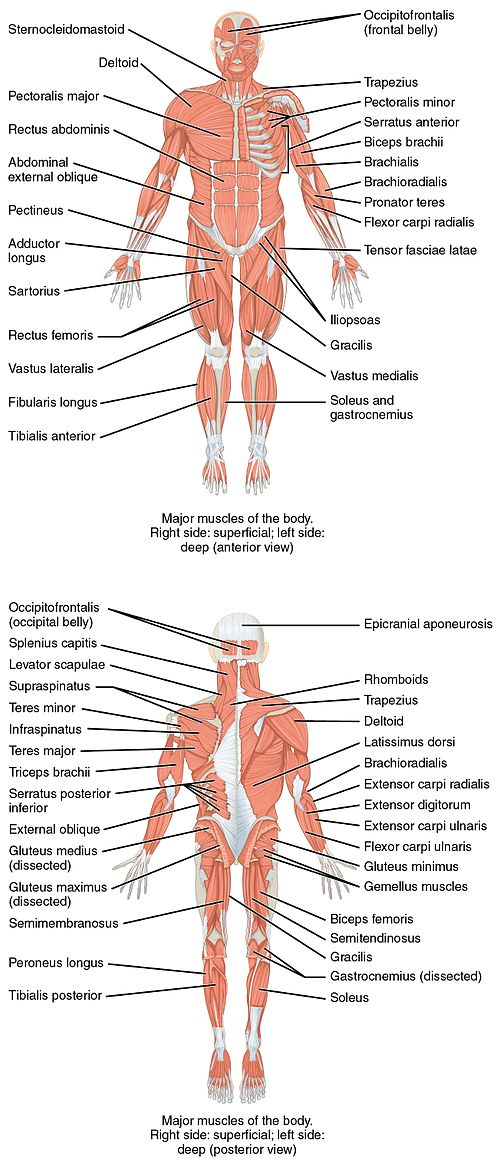 List of skeletal muscles of the human body wikipedia 1105 anterior and posterior views of musclesg ccuart Images