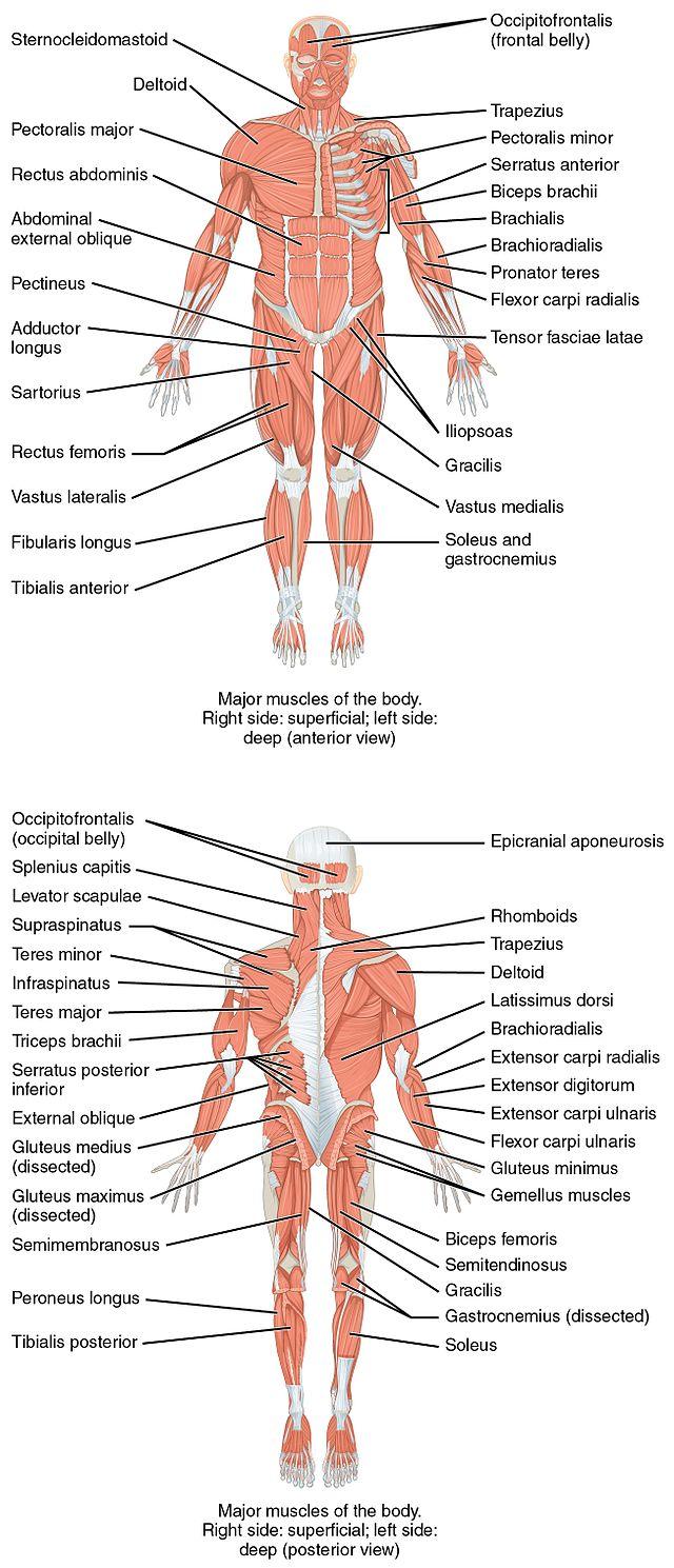 Muscle - Wikiwand