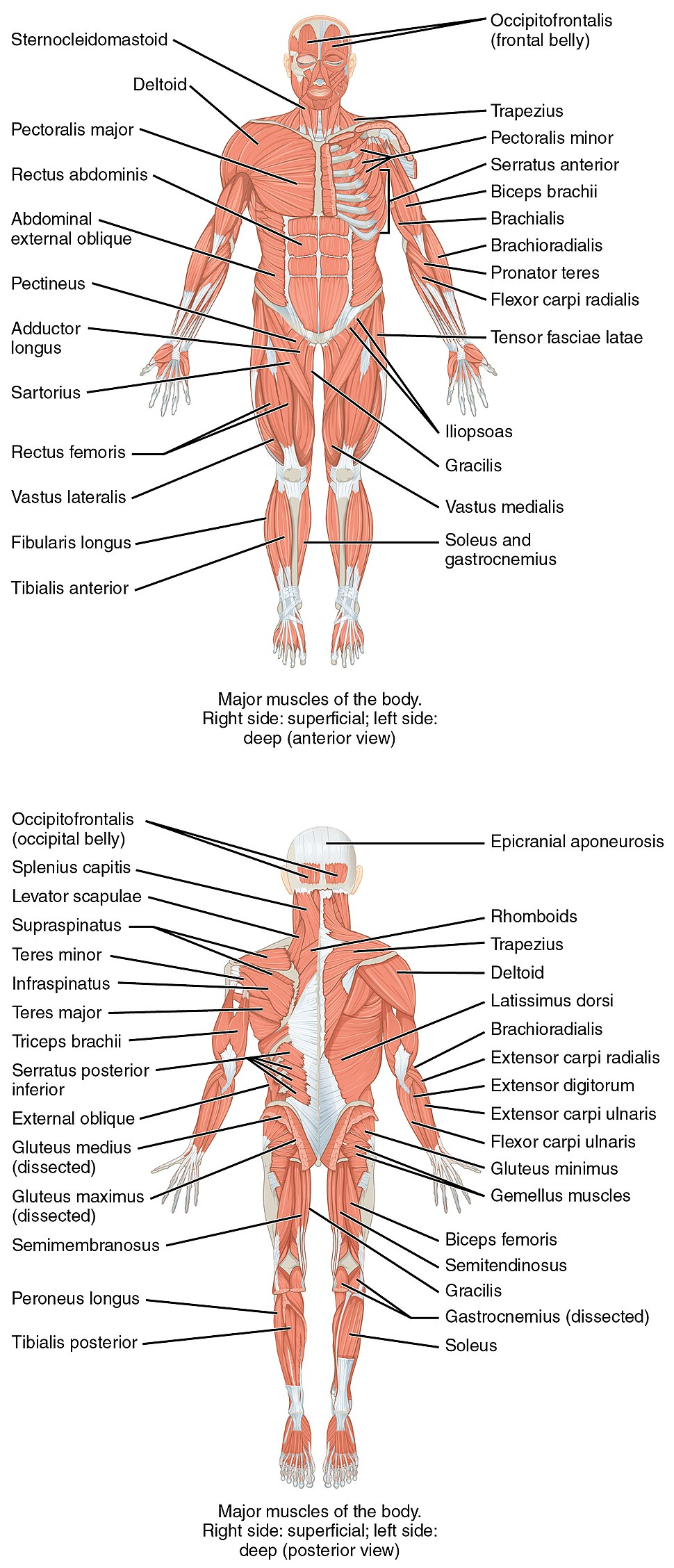 1105 Anterior and Posterior Views of Muscles