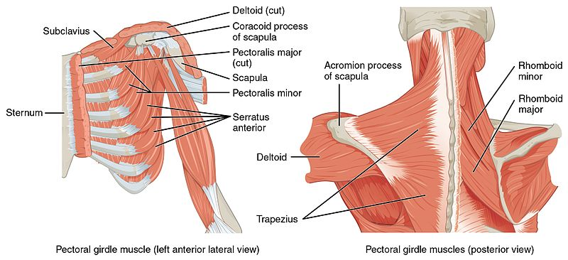 File:1118 Muscles that Position the Pectoral Girdle.jpg