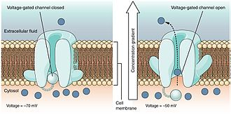 Depolarization - Voltage gated ion channel opening during depolarization
