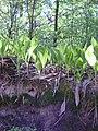 14.05.2006 - територія заказника Чернечий ліс (11).jpg