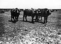 16-4-1935 בופלו (תאו) באגם החולה btm11128.jpeg