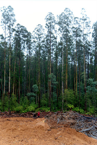 69 years later: Eucalypt regrowth in an area affected by the 1939 fires. The trees make up a single cohort, with little diversity in age or size. The foreground includes part of a coup which has recently been logged and burnt. 1939 Regrowth 01 Pengo.jpg