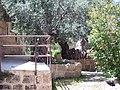 2000-летняя олива - panoramio.jpg