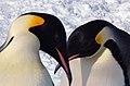 2007 Snow-Hill-Island Luyten-De-Hauwere-Emperor-Penguin-97.jpg