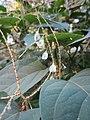 20121003Reynoutria japonica3.jpg