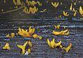 2014-02-07 Calocera furcata (Fries) Fries 402655.jpg