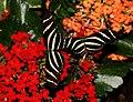 2014-05-01 15-23-22-Heliconius-charithonia-hunawihr.jpg