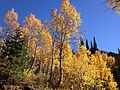 2014-10-04 14 38 56 View of Aspens during autumn leaf coloration from Charleston-Jarbidge Road (Elko County Route 748) in Coon Creek Valley about 13.0 miles north of Charleston, Nevada.JPG