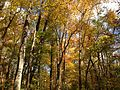 2014-10-30 13 00 29 Trees during autumn in the woodlands along the West Branch Shabakunk Creek in Ewing, New Jersey.JPG