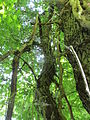 20140606Vitis vinifera subsp. sylvestris02.jpg