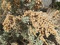 2015-03-16 14 14 29 Sagebrush foliage and seedhead at the Northeastern Nevada Museum in Elko, Nevada.JPG