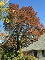 2015-10-21 11 38 20 White Ash during autumn along Terrace Boulevard in Ewing, New Jersey.jpg