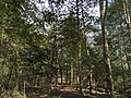 2016-03-01 14 23 25 Trail through an American Holly thicket within Fred Crabtree Park in Reston, Fairfax County, Virginia.jpg