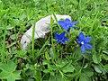 2017-06-25 (27) Gentiana verna (Spring Gentian) at Schneeberg, Austria.jpg