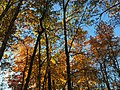 2017-11-10 15 59 59 View up into the canopy of several trees during late autumn within Hosepen Run Stream Valley Park in Oak Hill, Fairfax County, Virginia.jpg