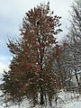 2017-12-10 08 13 58 A snow-covered Callery Pear on the morning after a wet snowfall within Franklin Farm Park in the Franklin Farm section of Oak Hill, Fairfax County, Virginia.jpg