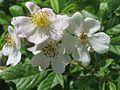 20170525Rosa multiflora3.jpg