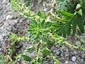 20170723Amaranthus albus2.jpg