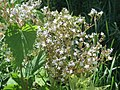 20170806Valeriana officinalis3.jpg
