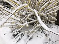 2018-03-21 10 30 12 A Forsythia covered in snow while flowering along Tranquility Court in the Franklin Farm section of Oak Hill, Fairfax County, Virginia.jpg
