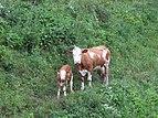 2018-06-18 (201) Cows at Haltgraben in Frankenfels, Austria.jpg