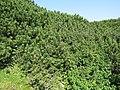 2018-08-29 (156) Pinus mugo subsp. mugo at Rax, Austria.jpg