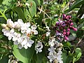 2021-04-25 17 35 42 Purple and white lilac flowers along Indale Court in the Franklin Farm section of Oak Hill, Fairfax County, Virginia.jpg