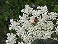 3119 - Schaan-Vaduz - Rheindamm - Apiaceae.JPG