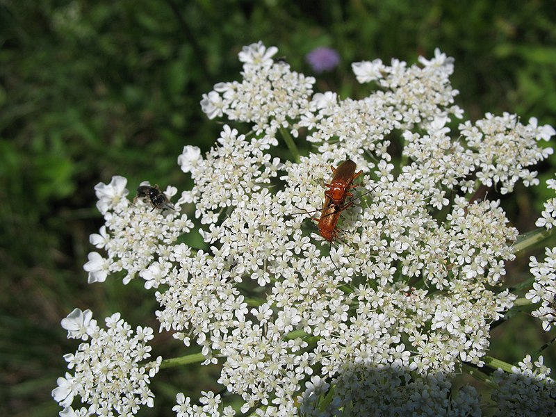 File:3119 - Schaan-Vaduz - Rheindamm - Apiaceae.JPG