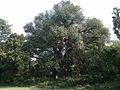 400 years old Unknown tree 2.jpg