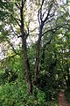 61-212-5003 Buchach Nest of Linden Trees N2 RB.jpg