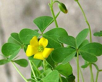 Oxalis stricta - Image: 6h common yellow oxalis