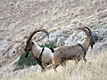 8 Bezoar Goat.jpg