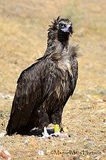 90P Buitre Negro.jpg