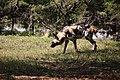 AFRICAN WILD DOG (13984053886).jpg