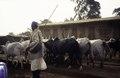 ASC Leiden - van Achterberg Collection - 1 - 086 - Un berger Mbororo avec des zébus - Bamenda, Cameroun - 6-12 février 1997.tif