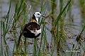 A Beautiful Pheasant Tailed Jacana (50176889862).jpg