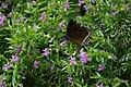 A Black butterfly on flower.jpg