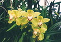 A and B Larsen orchids - Cymbidium Valley Bay Perfection 567-22.jpg