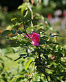 A deep pink rose Capel Manor College Gardens Enfield London England 3.jpg